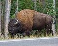 Bison walking Past (8007295921).jpg
