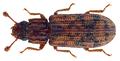 Bitoma insularis White, 1846.png