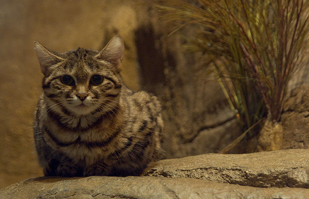 """Black-Footed Cat-BrookfielZoo"" by Jonathan Kriz - Black-Footed Cat. Licensed under CC BY 2.0 via Wikimedia Commons - https://commons.wikimedia.org/wiki/File:Black-Footed_Cat-BrookfielZoo.jpg#/media/File:Black-Footed_Cat-BrookfielZoo.jpg"
