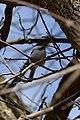 Black-capped Chickadee (Poecile atricapillus).jpg