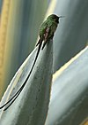Black-tailed Trainbearer (Lesbia victoriae).jpg