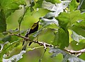 Black-throated Green Warbler (37360208840).jpg