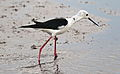 Black-winged Stilt, Common Stilt, or Pied Stilt, Himantopus himantopus at Marievale Nature Reserve, Gauteng, South Africa (22871549193).jpg