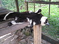 Black And White Ruffed Lemur Flat-Out, Parc Endemika (3958617414).jpg