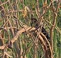 Black Bittern (Dupetor flavicollis) in Kinnarsani WS, AP W IMG 6111.jpg