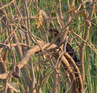 Black bittern - Image: Black Bittern (Dupetor flavicollis) in Kinnarsani WS, AP W IMG 6111