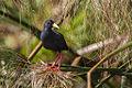 Black Crake - Uganda H8O2270 (15533253086).jpg