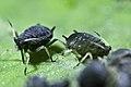 Black bean aphid (9269106141).jpg