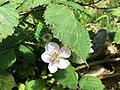 Blackberries on bushes 4 2016-06-29.jpg