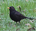 Blackbird in Madrid (Spain) 04.jpg