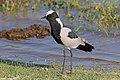 Blacksmith lapwing (Vanellus armatus) Botswana.jpg