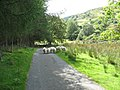 Blaen Cwm rams on the Cwm Wnion road - geograph.org.uk - 536652.jpg