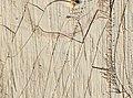 Blatta orientalis (YPM IZ 098919).jpeg