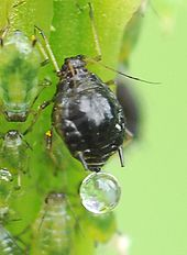 Aphid on mold on soil