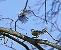 Blaumeise (Cyanistes caeruleus) im Grünfelder Park in Waldenburg. 2H1A3547WI.jpg