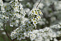 Blommande buske (8757825433).jpg