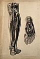 Blood vessels of the lower limb; two figures showing dissect Wellcome V0008164.jpg