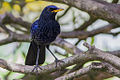 Blue-Whistling Thrush East Sikkim India 10.05.2014.jpg