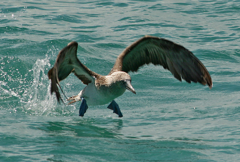 Tiedosto:Blue-footed booby taking off Ecuador.jpg