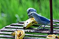 Blue-gray tanagers (32296038318).jpg
