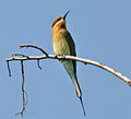 Blue-tailed Bee-eater (Merops philippinus) W IMG 4358.jpg