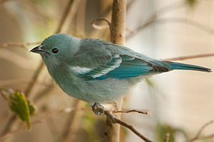 Blue-gray tanager - Image: Blue Grey Tanager
