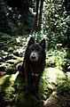 Blue Bay Shepherd on mossy rock.jpg