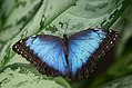 Blue Morpho (12618905635).jpg