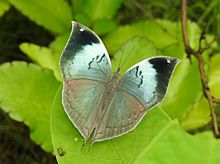 Blue Oakleaf Kallima horsfieldi UP Thane by Dr. Raju Kasambe DSCN4613 (12).jpg