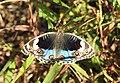 Blue Pansy Junonia orithya swinhoei by Dr. Raju Kasambe DSCN0894 (1).jpg