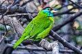 Blue throated barbet.jpg