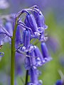 Bluebells (detail) (13912626618).jpg
