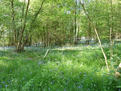 Bluebells in Nailard's Wood - geograph.org.uk - 2375192
