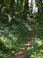 Bluebells on Dyer's Hill - geograph.org.uk - 805370.jpg