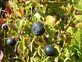 Blueberries (33123484225).jpg