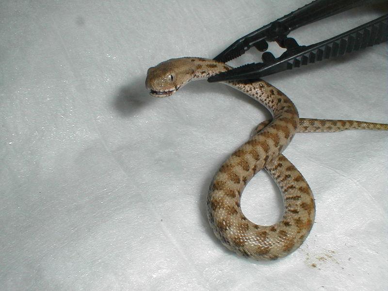 türkiyedeki yılanlar