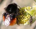 Bombus monticola queen.jpg