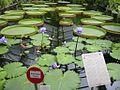 Botanischer Garten Berlin Viktoria-Seerosen 1.jpg