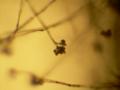Botrytis conidiophore 40X.png