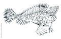 Brachionichthys Hirsutus.jpg