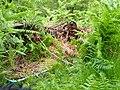 Bracken Growing through Old Machinery - geograph.org.uk - 862489.jpg
