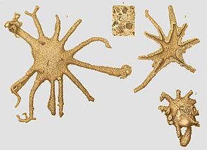 Astrorhiza limicola