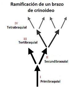 Braquiales de Crinoidea.jpg