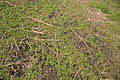Brassica napus seedloss, koolzaad opslag uit zaaduitval (1).jpg