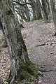 Breite Ancient Oak Tree Reserve, Sighisoara, Romania (5681260021).jpg