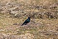 Brewer's blackbird (39546108881).jpg