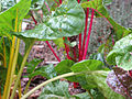 Bright Lights Swiss Chard.jpg