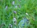 Briza media from limestone grassland in Boho.jpg