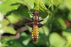 Broad-bodied chaser (Libellula depressa) female.jpg