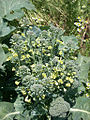 Broccoli flowers 2525385935 e13d4de4c4 b.jpg